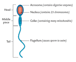 ncert-solutions-for-class-12-biology-human-reproduction-5